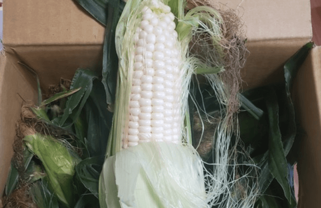 白いトウモロコシ①
